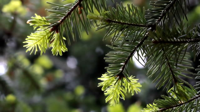Pine tree video background video