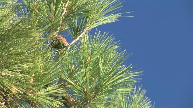 HD: Pine tree video
