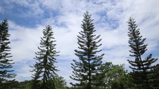 vídeos de stock e filmes b-roll de pine tree - oscilar