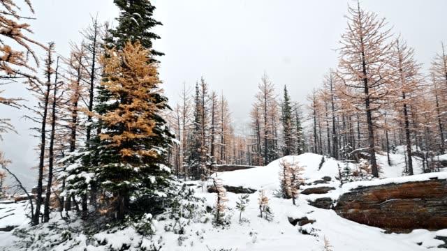 kiefer mit herbstwald auf schneehügel am schneittag im yoho nationalpark - laub winter stock-videos und b-roll-filmmaterial