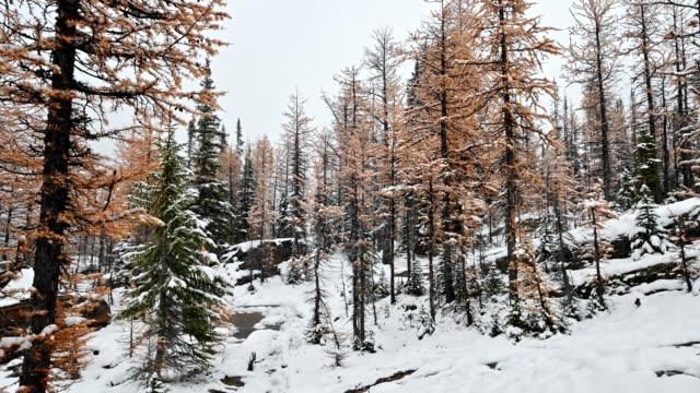 kiefer mit herbstwald auf schneehügel am schneistag - laub winter stock-videos und b-roll-filmmaterial