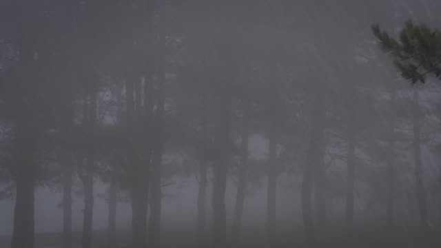 pine tree with foggy in a rainy day video
