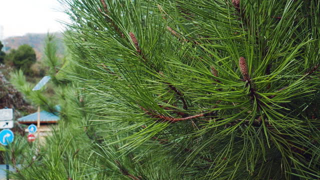 Pine tree with large needles close up