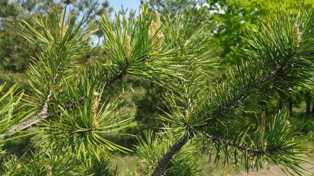 Pine tree with young pine cones in the spring forest. video