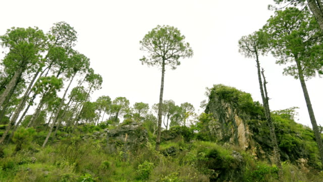 Pine trees and rocks in Solan, Himachal Pradesh, India. video