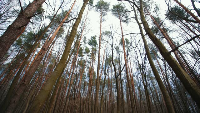 Pine trees in a cloudy forest. Camera movement between trees Pine trees in a cloudy forest. Camera movement between trees moss stock videos & royalty-free footage