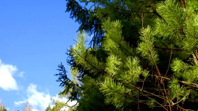 vídeos y material grabado en eventos de stock de pinos en primavera - pino conífera