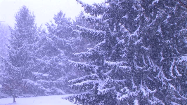 Pine Trees in Snowstorm (Additional_Formats_Below) video