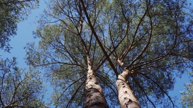 kiefernstämme bewegen sich im wind im frühlingswald - verbogen stock-videos und b-roll-filmmaterial