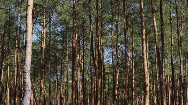 pine trunks moving in the wind in the spring forest tall pine trunks moving in the wind in the spring forest bent stock videos & royalty-free footage