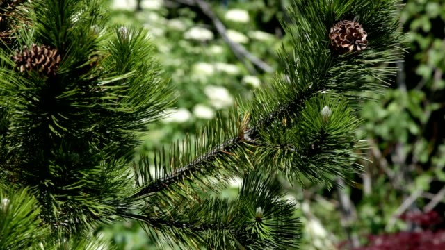 Pine with cones video