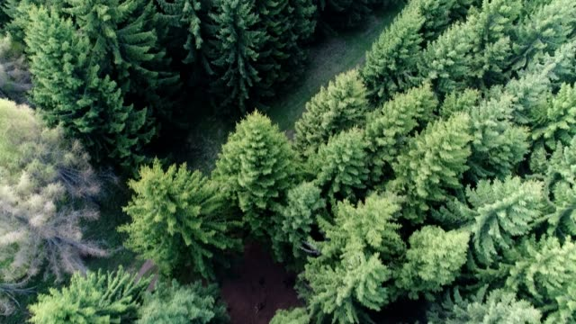 Pine woodland from air video