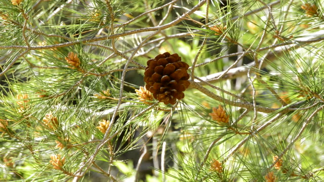 Pineaple in branch of pine tree Pineaple in branch of pine tree a sunny day pine nut stock videos & royalty-free footage