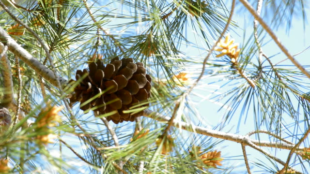 Pineaple of pine in branch of tree a sunny day video