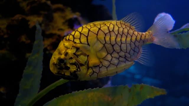 pineapple fish video