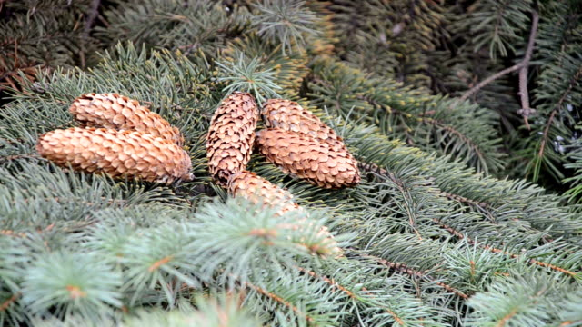 Pinecones lying on a branch of spruce video