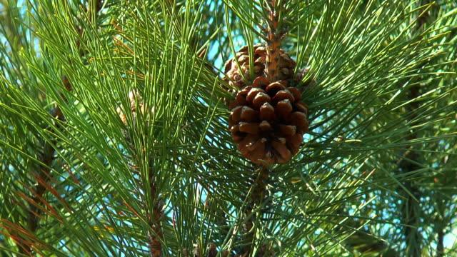pinecones video
