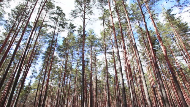 Pinewood Pinery(coniferous forest) view in lunchtime sunlight  baltic countries stock videos & royalty-free footage
