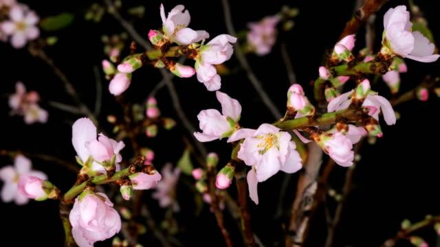 pink almond flowers blossoming time-lapse - kwiecie filmów i materiałów b-roll
