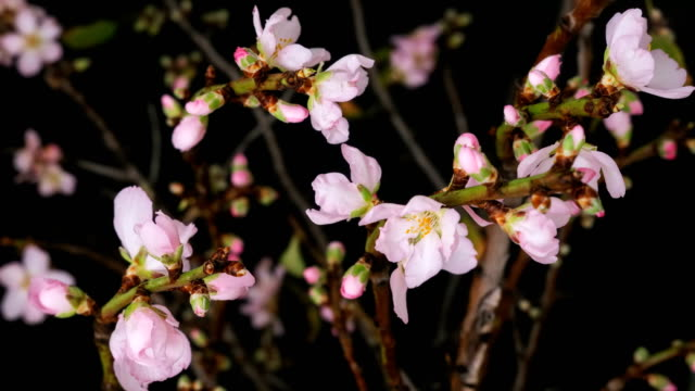 stockvideo's en b-roll-footage met roze amandel bloemen bloeien time-lapse - bloesem