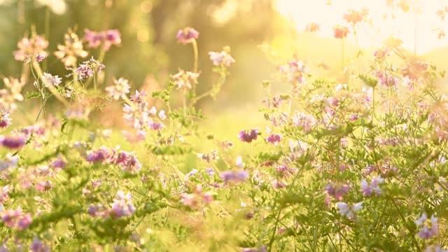 Pink alsike clover summer background