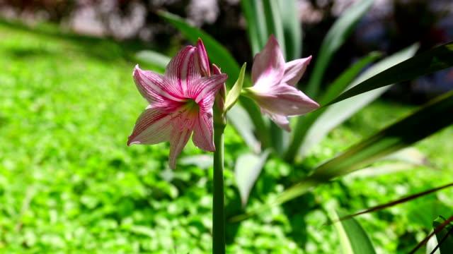 pink amaryllis - amaryllis bildbanksvideor och videomaterial från bakom kulisserna