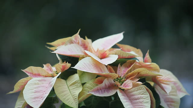 Pink and cream poinsettia video