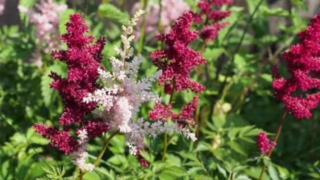pink and red flowers astilbe japonica in garden. bee on flower. - semenzaio video stock e b–roll