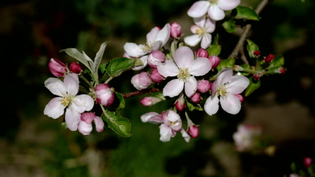 pink and white blossom apple flower buds and flowers on tree branch swaying in wind. - orticoltura video stock e b–roll