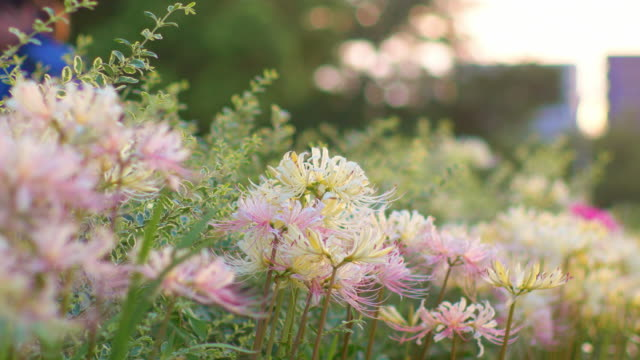 Pink and white cluster amaryllis swaying in wind in sunset light video