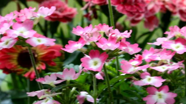stockvideo's en b-roll-footage met roze en witte bloemen bloeien - s