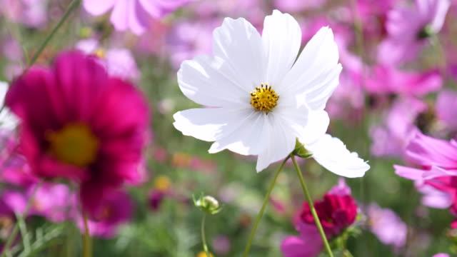 ピンクと白の花が風に揺れる ビデオ