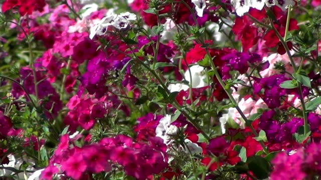 Pink and white impatiens flowers (busy lizzie).