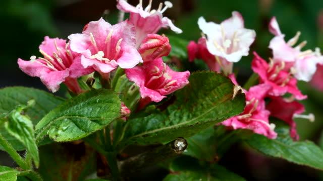 stockvideo's en b-roll-footage met roze en witte weigela florida bloei - s