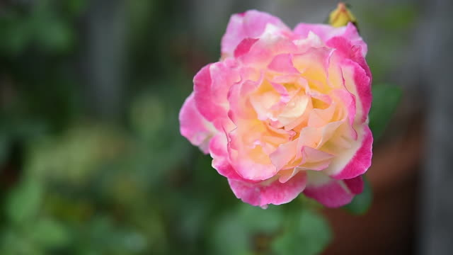 Pink and yellow rose in green garden with morning light