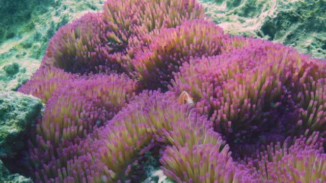 vídeos y material grabado en eventos de stock de anémona rosa y pez payaso zorrillo isla lord howe. cámara roja. - coral cnidario