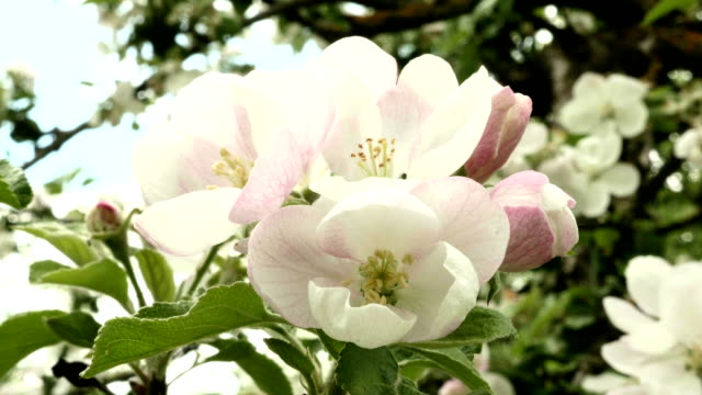 Pink apple flower in the park. Close up shot. Clean and bright daytime. video