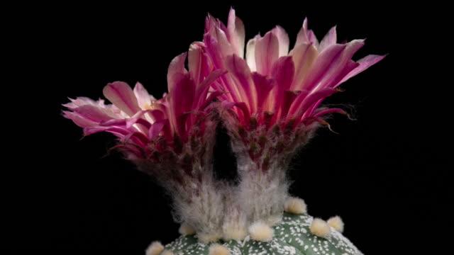 Pink Astrophytum Time-lapse