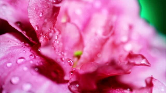 Açelya çiçek, üzerine Su damlacıkları ile çekim makro pembe. video