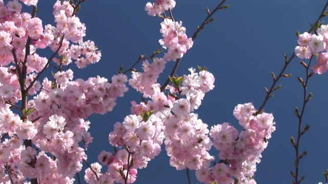 hd: pink blossoms - äppelblom bildbanksvideor och videomaterial från bakom kulisserna