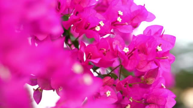 pink Bougainvillea on tree