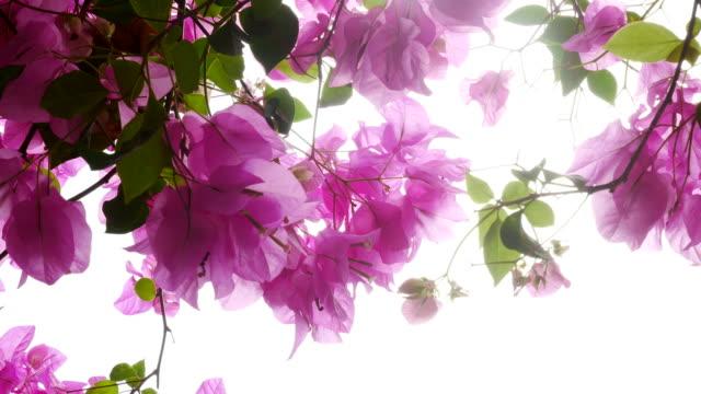 pink Bougainvillea on tree video