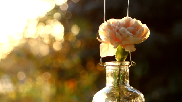 Pink carnation in a vase on sunset background video
