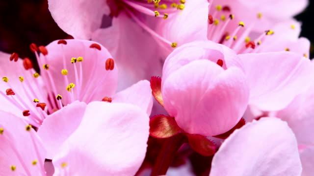 Pink cherry blooming flowers video