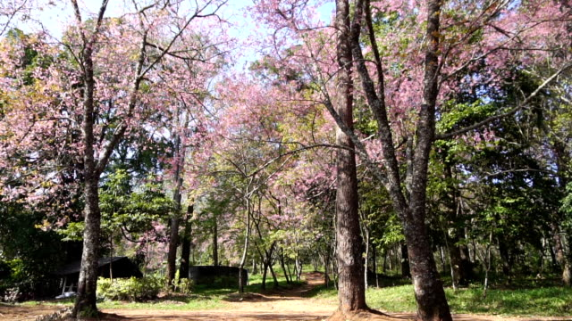 HD Pink cherry blossom flower at chiang man, Thailand video