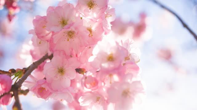 vídeos de stock, filmes e b-roll de flores de cerejeira rosa em um fundo de céu claro - cerejeira árvore frutífera