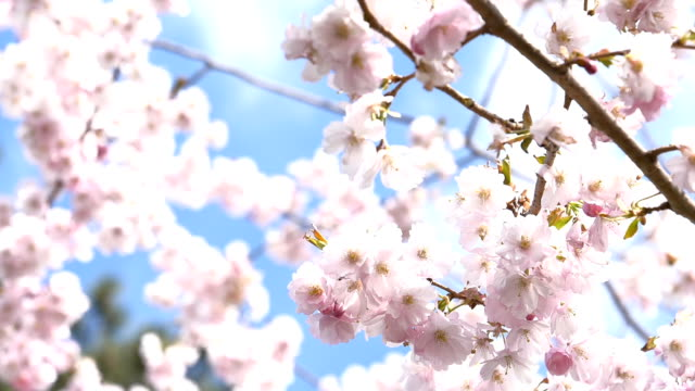 pink cherry blossom - spring stock videos & royalty-free footage