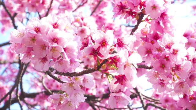 pink cherry blossom - kirschbaum stock-videos und b-roll-filmmaterial
