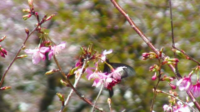 rosa fiori di ciliegio e farfalla - farfalla ramo video stock e b–roll