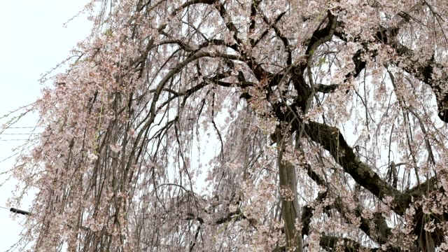 Pink cherry blossoms blooming in spring shake in the wind. video